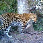 How do Leopards Mark their Territory