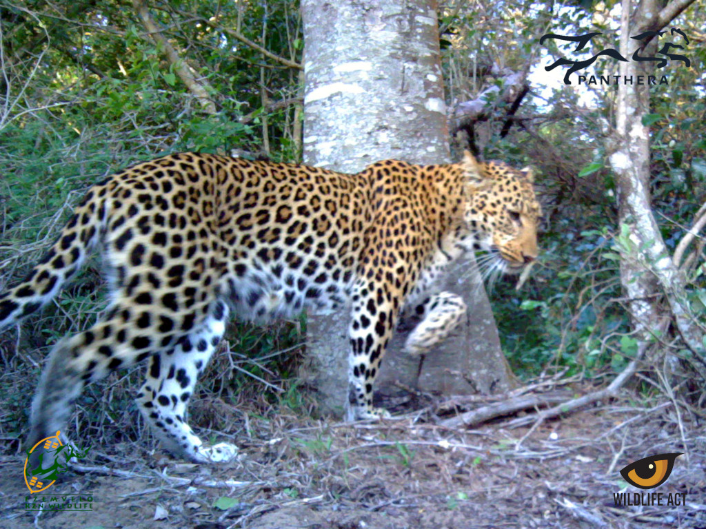 How do Leopards Mark their Territory - Scent Marking