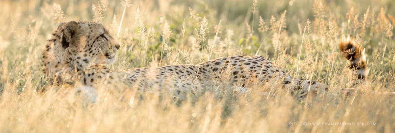 Chantelle Melzer - Cheetah Header