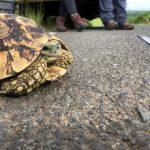 Tortoise DNA project KZN
