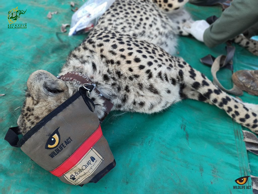 uMkhuze Welcomes Two New Cheetah Arrivals