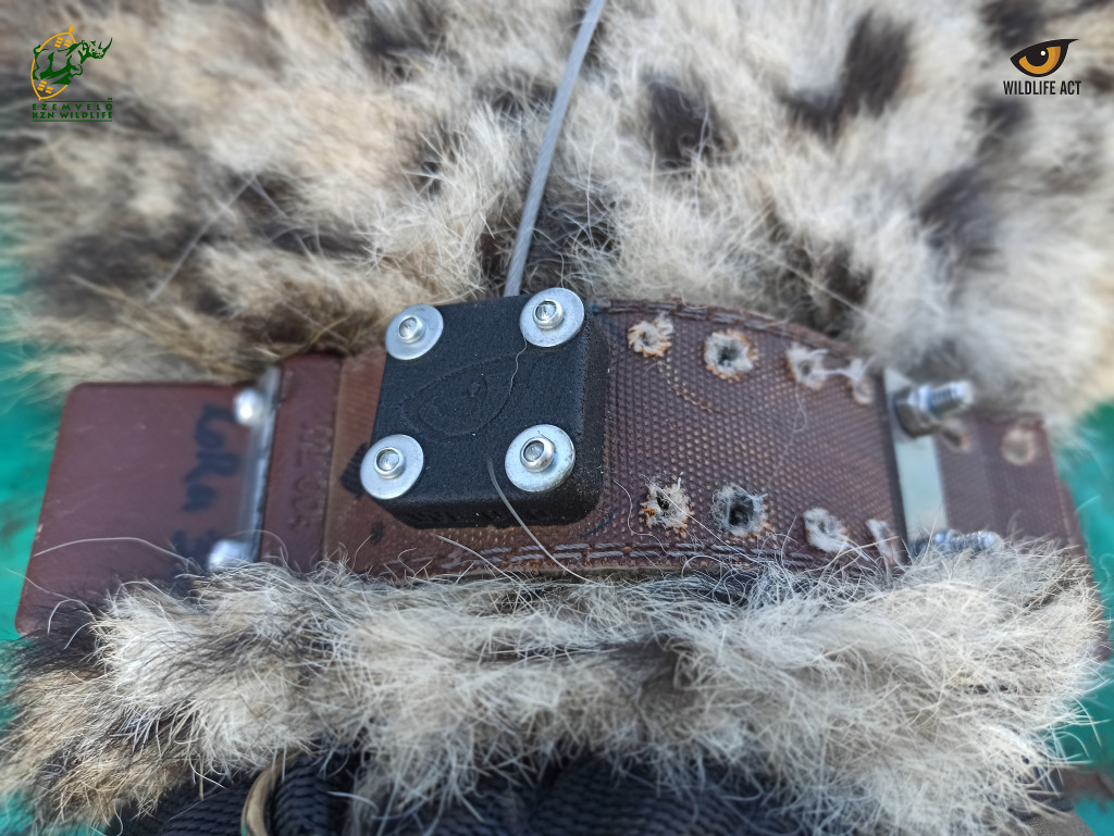 The new Wildlife ACT GPS and VHF collar fitted onto uMkhuze's latest cheetah arrivals.