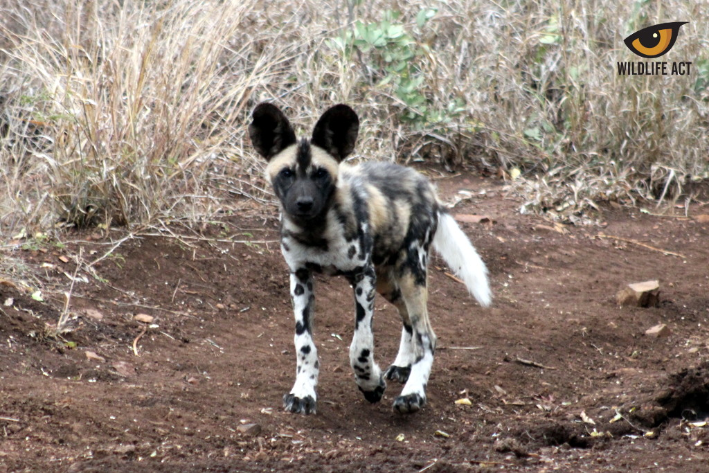Manyoni Painted Dog Puppy August 2020