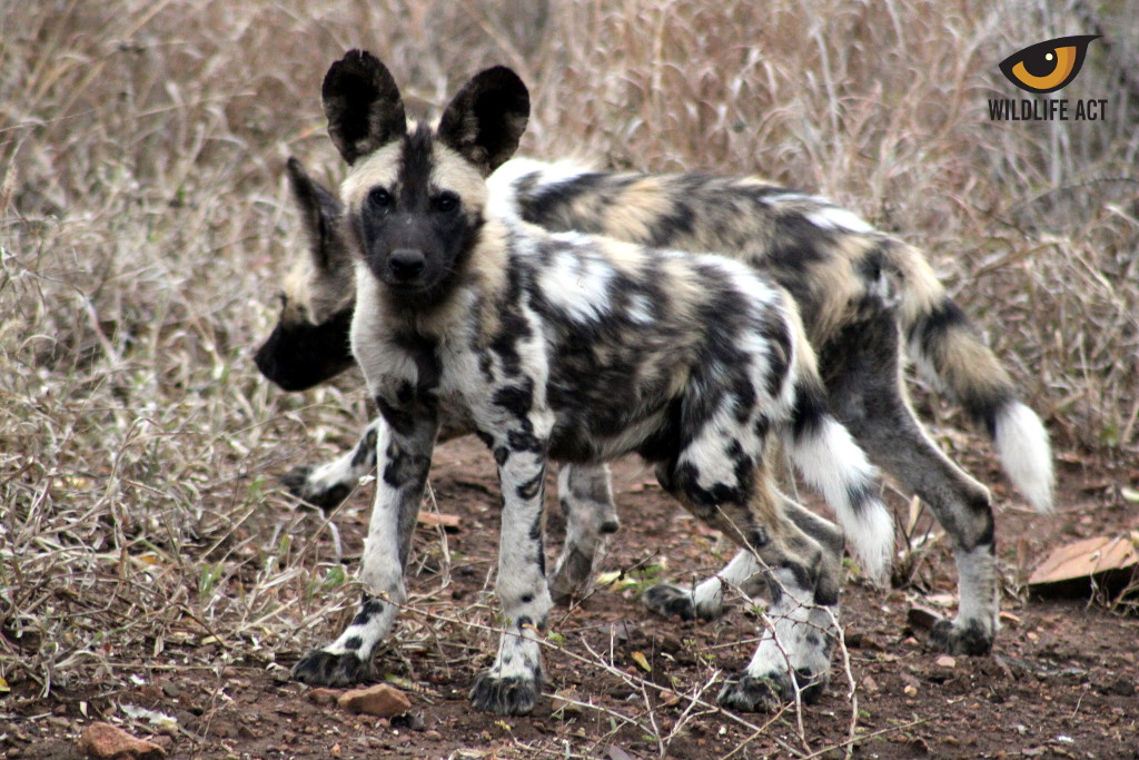 Manyoni Painted Dog Pups August 2020