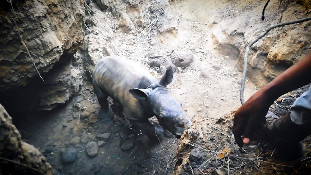 Rhino Calf Rescue on Hluhluwe-iMfolozi Park