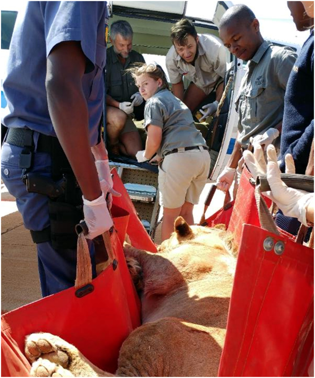 The ground team at Tswalu help to load the sedated lions onto the plane.