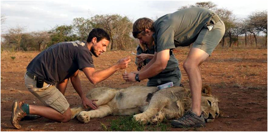 Dr Joel Alves and Brigitte Church were there to assist with taking blood samples and placing a tracking collar onto the lions.