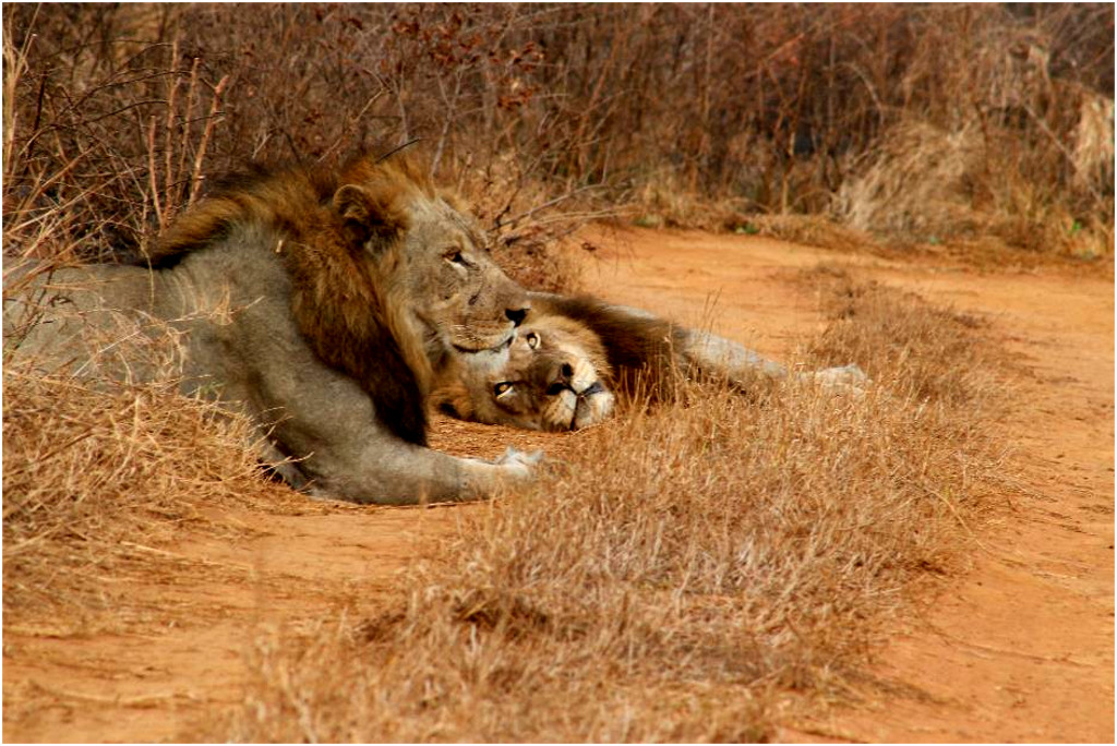 Two of the brother lions in their new home in the uMkhuze Section of iSimangaliso Wetland Park.