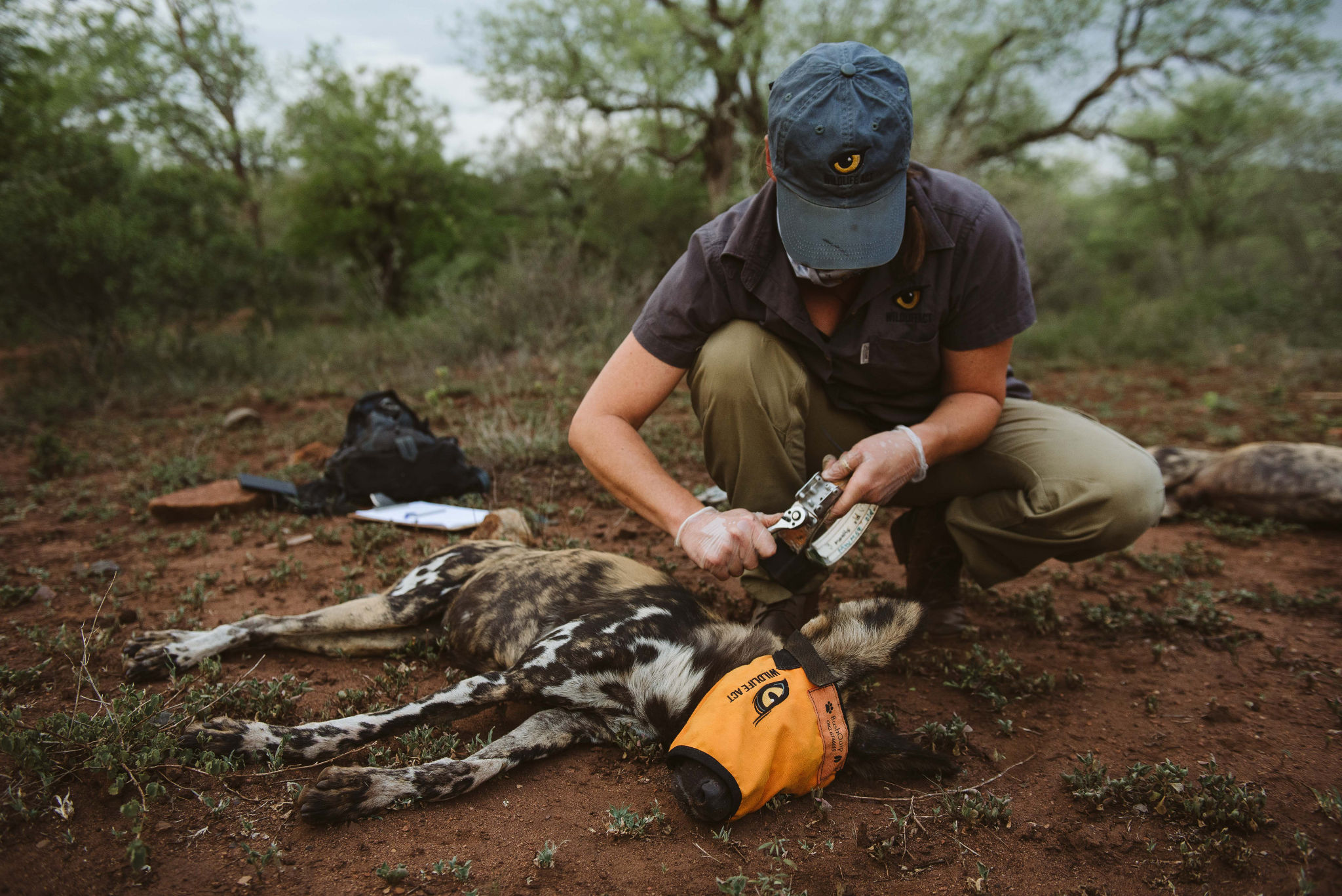 African Painted Dog Collaring 2020 with Wildlife ACT