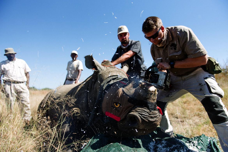 Mass Rhino Dehorning Undertaken in KZN