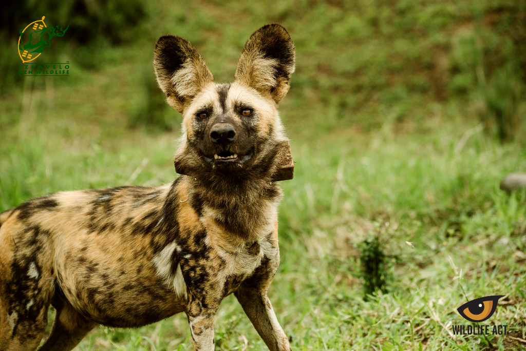 New Pack of Endangered African Painted Dogs Released on HiP 2021