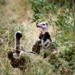 Localised Extinction of Breeding White-Headed Vultures in KZN